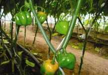 Comportamiento fenológico del chile habanero
