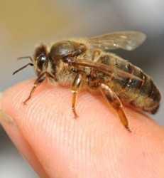 Protección ensalzada para las abejas