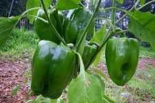 Efecto de la densidad en la plantación de pimientos
