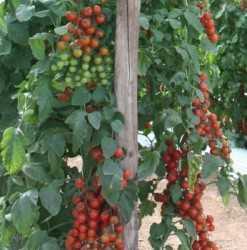 Tutorado en tomates y pimientos