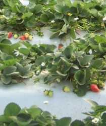 Trabajo en equipo en producciones de fresa