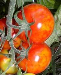 Tomates en contra del Virus del mosaico del pepino
