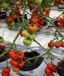 Prepara tus cultivos de tomate para el verano