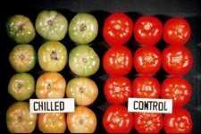 Recomendaciones para mantener la calidad poscosecha en tomate