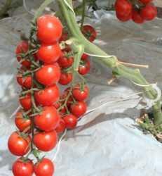 Sal para tus tomates