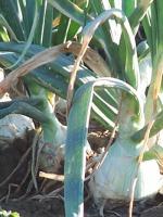 Biocombustible de cebolla