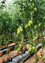 Bioinoculantes en la producción de hortalizas