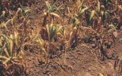 Controla el Nemátodo de los bulbos en cultivos de ajo