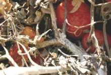 Protege tus cultivos del Tizón sureño