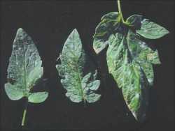 Protege tus tomates de la Cenicilla polvorienta