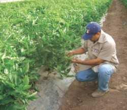 Adapta variedades de tomate a tu región productiva