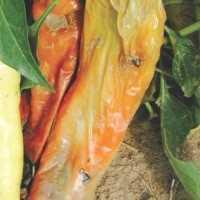 7 métodos de control de Pudrición blanda en hortalizas