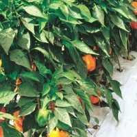 Consigue fortaleza y calidad en cultivos de pimiento