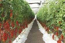 tomates_invernadero