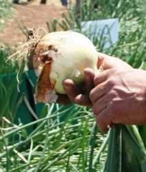 field_onion_closeup