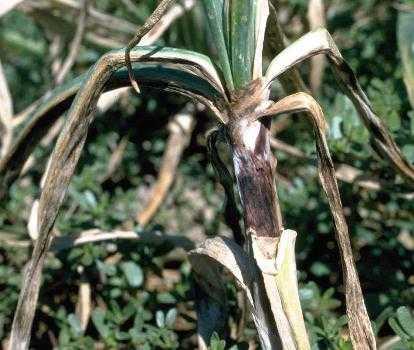 enfermedades del ajo hortalizas