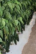 Exportaciones de pimientos mexicanos en aumento