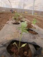 Trasplante de tomate