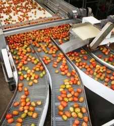 sinaloa tomatoes