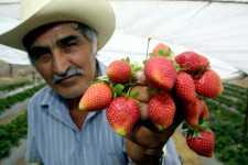 Exportación de frutillas mexicanas en aumento
