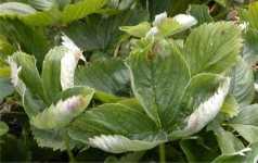 Prevén el mildiu en frutillas