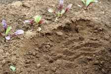 Utiliza cultivos de cobertura para una producción sustentable
