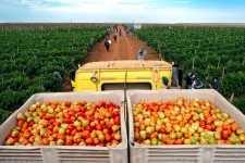 Tomates tratatos con productos DuPont