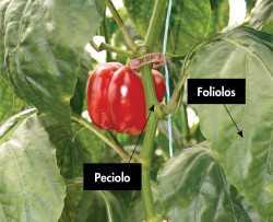 Efectos del nitrógeno en el tejido de tus cultivos