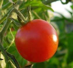 tomato_closeup