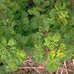 Fig. 1. Amarillamientos, mosaicos y plantas con bajo desarrollo son síntomas de efectos fuertes de infecciones causadas por virus