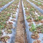Fig. 2. Infección viral fuerte en cultivo de fresa causado por Palidosis, asociado con virus transmitido por Mosca blanca.