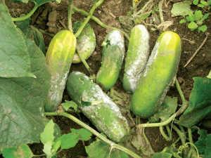 El fruto de pepino, como se muestra aquí, es muy susceptible a las infecciones de Fitóftora. Foto: Mary Hausbeck