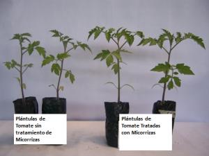 Fig. 2. Efecto del uso de micorrizas en plantas de tomate. Note la diferencia en crecimiento.