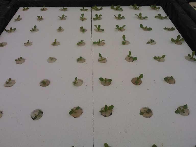 Plántulas en germinación Alta