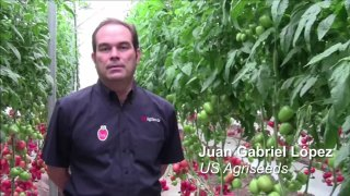 Variedad de tomate US Agriseeds: Afrodita