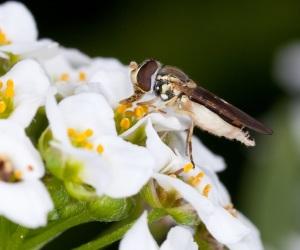 Sírfido adulto sobre una cabeza floral de aliso. Los sírfidos son enemigos naturales de los áfidos que pueden infestar la lechuga y son atraídos a los campos de cultivo por las plantas de aliso intercaladas entre las plantas de lechuga. Foto cortesía de ARS-USDA.
