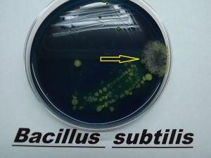 Crecimiento de las bacterias en un medio selectivo. La flecha indica la formación de endosporas, consideradas como estructuras de resistencia.