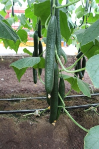 pepino_cucumber