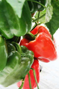 Comparaci n de principales fuentes de potasio aplicadas en for Potasio para plantas