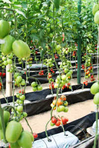 greenhouse_tomatoes_WR