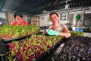 Los científicos de ARS analizaron los nutrientes esenciales en 25 variedades diferentes de brotes y encontraron que los brotes de col morada tienen las concentraciones más elevadas de vitamina C. Photo por ARS/USDA