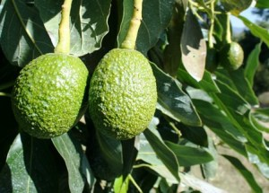 avocado pair 2 foto