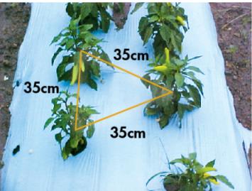 Figura 3. Distancias entre plantas y entre líneas con acolchado plástico previamente perforado en disposición de tresbolillo.