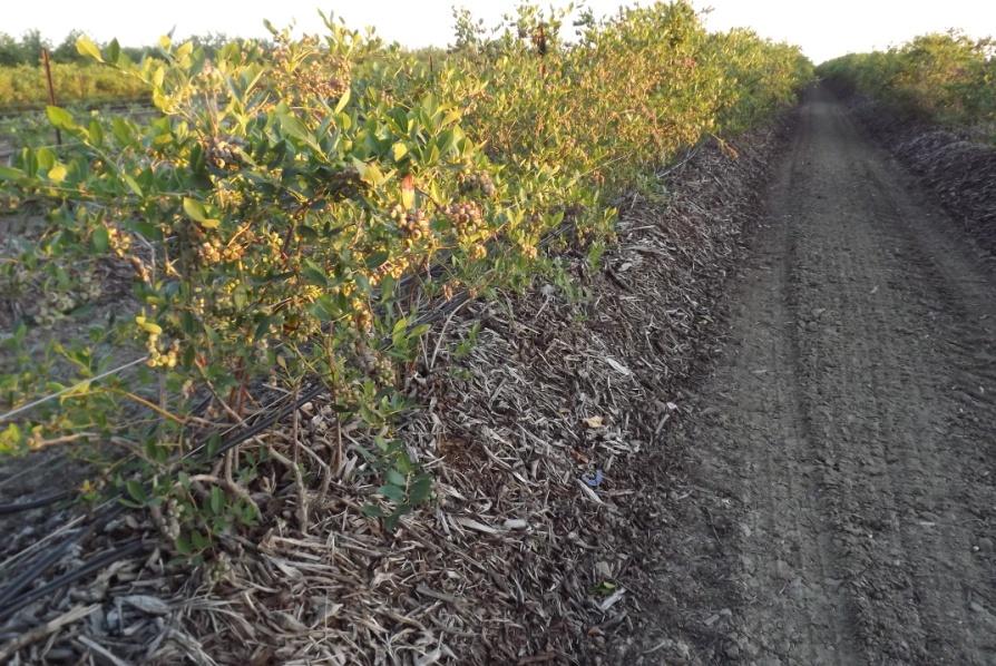La incorporación de materia orgánica en frutillas es básica para la obtención de un adecuado sistema radicular, y ajuste de pH necesario.