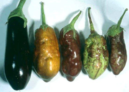 Achaparramiento peludo del tomate (TBSV) en berenjena. Foto por García A. Espana.