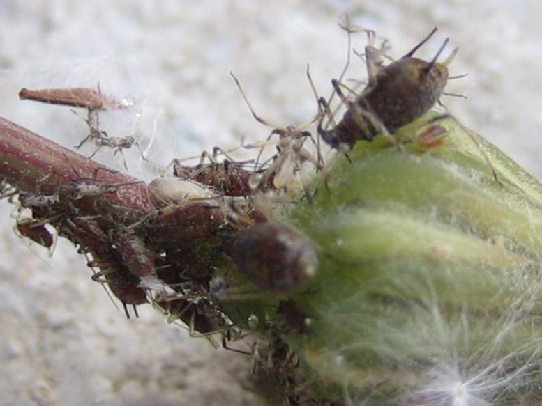 Pulgón amarillo (Myzus persicae Sulcer) sin alas.