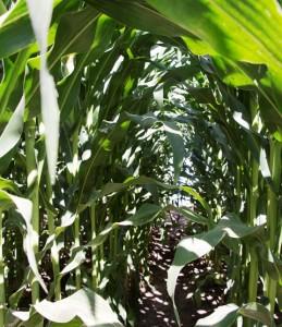 corn_AR (7)