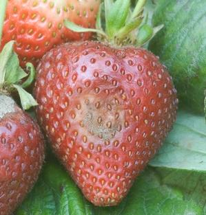 Efecto de Botrytis en el cultivo de fresa.