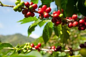 frutos del café