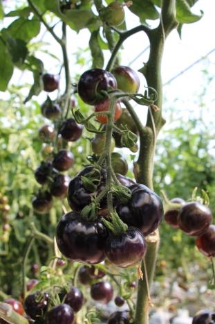 tomates negros en vid